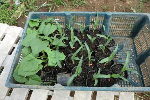 トウモロコシの植え付け_b0137932_21530340.jpg