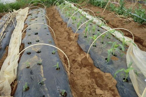 トウモロコシの植え付け_b0137932_21535895.jpg