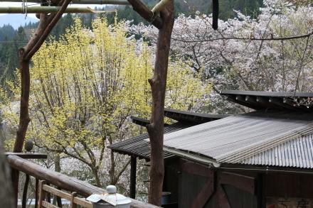 4月21日 桜は7分咲きです _d0249047_12195614.jpg