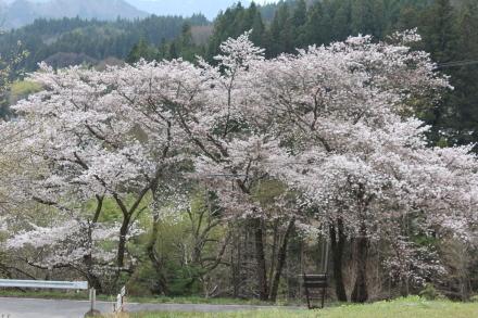 4月21日 桜は7分咲きです _d0249047_12202397.jpg