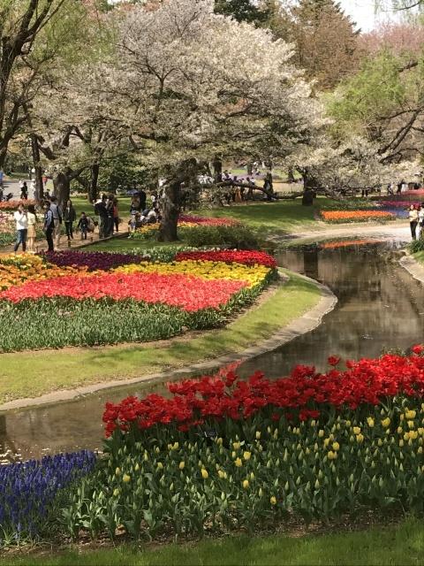 チューリップ @昭和記念公園_a0180279_18471623.jpg