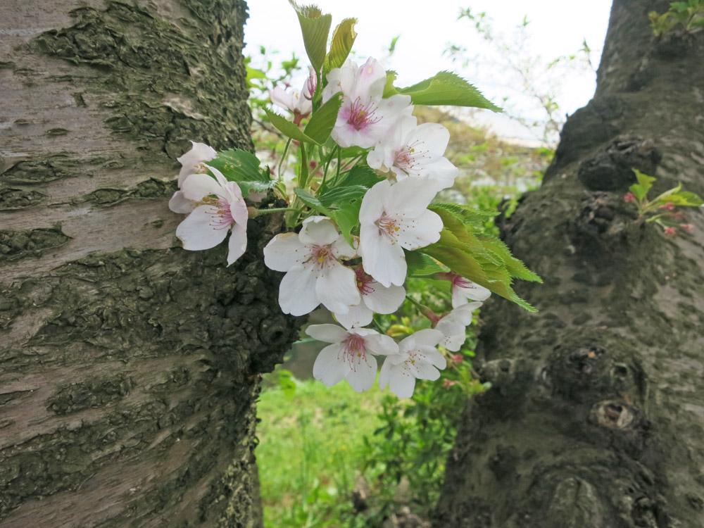 身近な桜など、今は!_e0367330_18141754.jpg