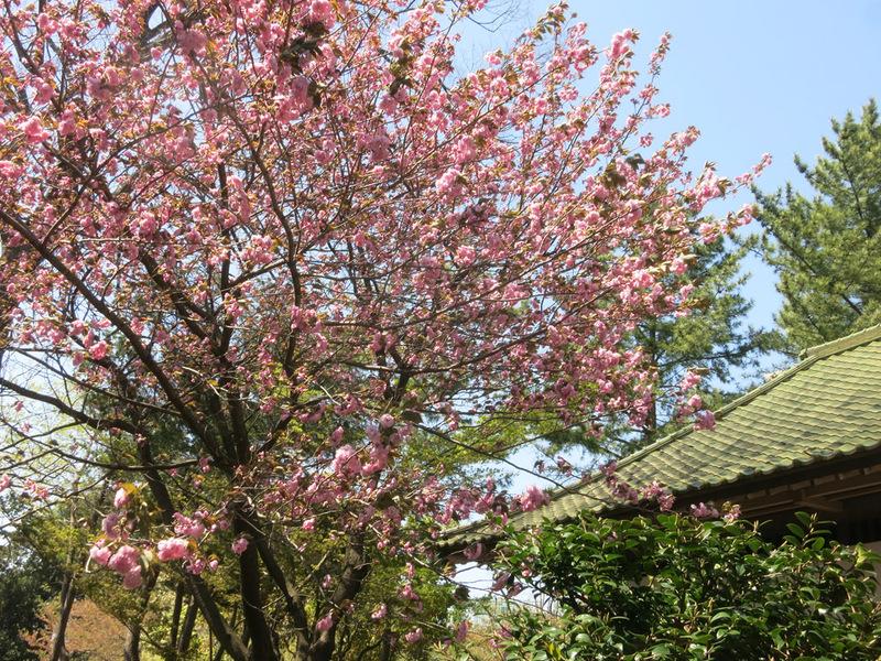 身近な桜など、今は!_e0367330_18165577.jpg
