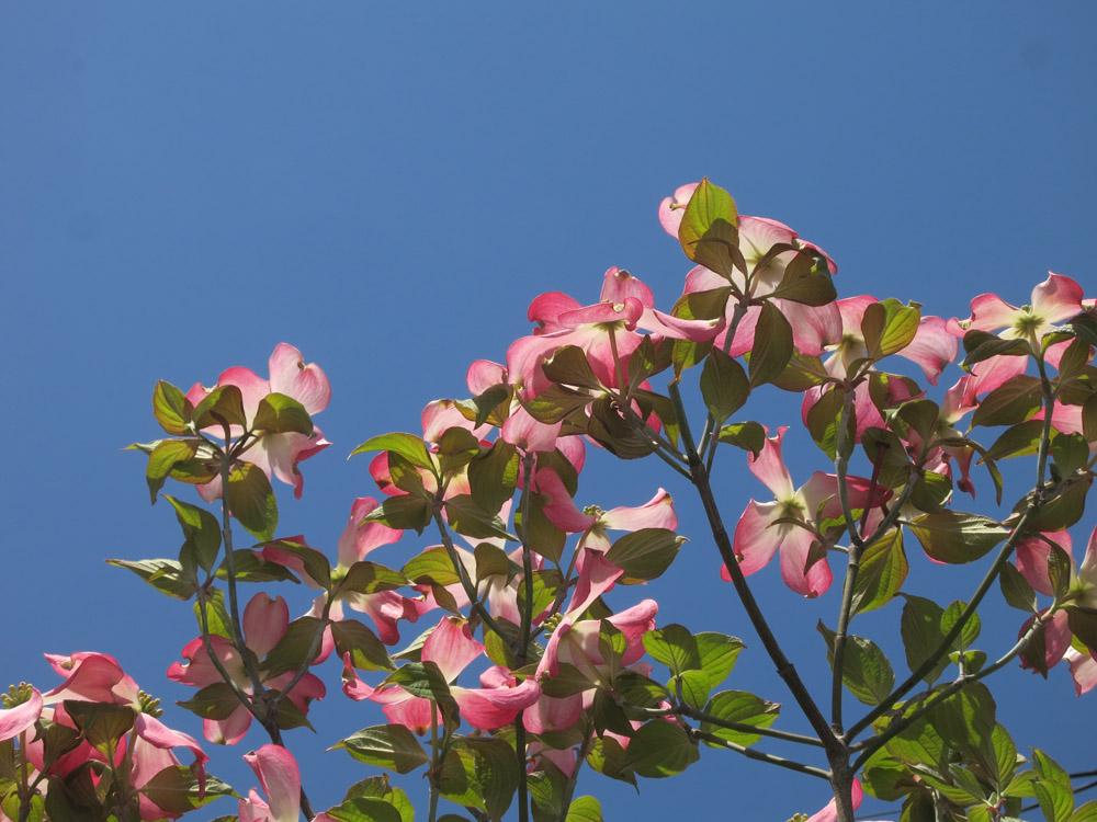 身近な桜など、今は!_e0367330_1820223.jpg