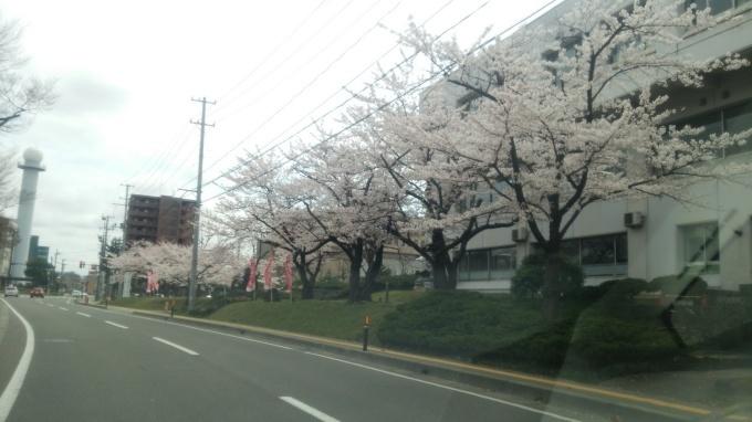 今年の桜は( ´∀`)_c0350439_10312287.jpg