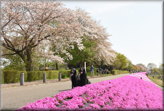 桜の次は、芝桜 @4月16日_f0363141_91086.jpg