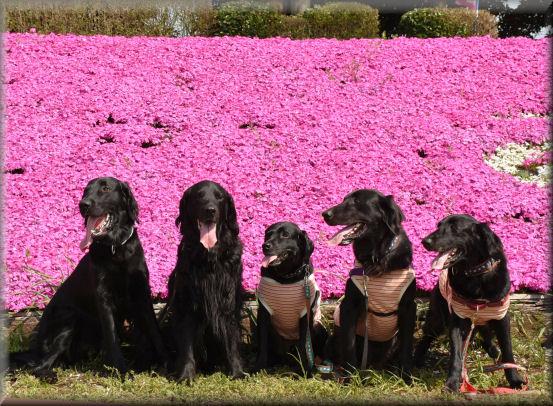 桜の次は、芝桜 @4月16日_f0363141_911051.jpg