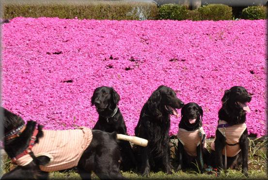 桜の次は、芝桜 @4月16日_f0363141_9121634.jpg