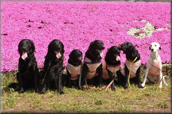 桜の次は、芝桜 @4月16日_f0363141_914313.jpg