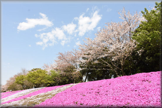桜の次は、芝桜 @4月16日_f0363141_942043.jpg
