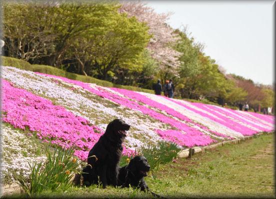桜の次は、芝桜 @4月16日_f0363141_955547.jpg
