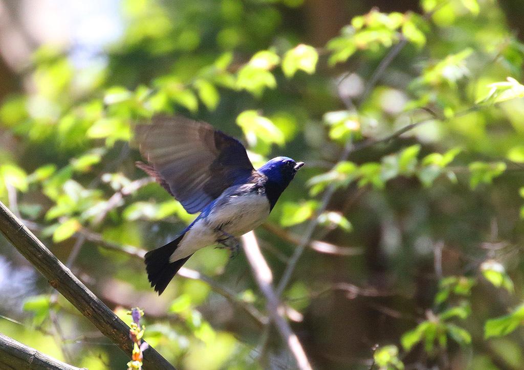 高原の夏鳥たち_d0313867_14261116.jpg