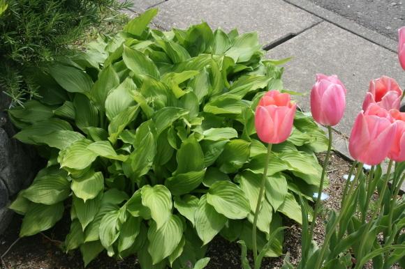 チューリップが咲きました_c0248269_20223349.jpg