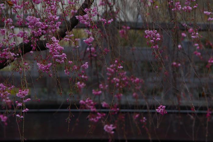 桜  2017  伏見 中書島界隈_f0021869_02584547.jpg