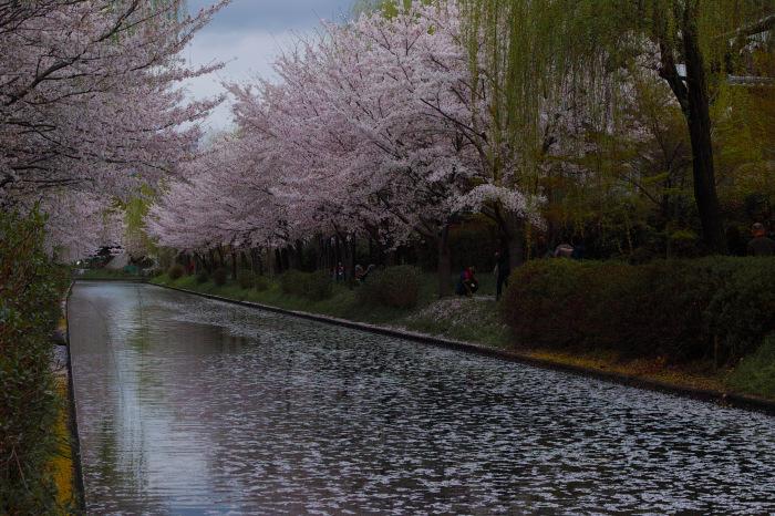桜  2017  伏見 中書島界隈_f0021869_02591525.jpg