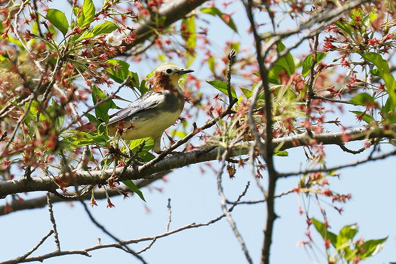 桜も咲き終わった木にコムクドリが・・・_f0368272_21402929.jpg