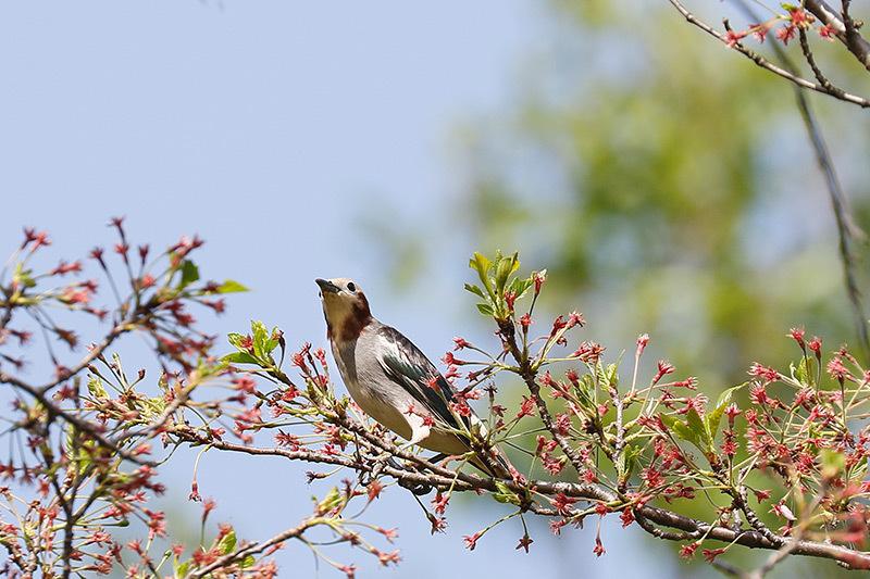 桜も咲き終わった木にコムクドリが・・・_f0368272_21452160.jpg