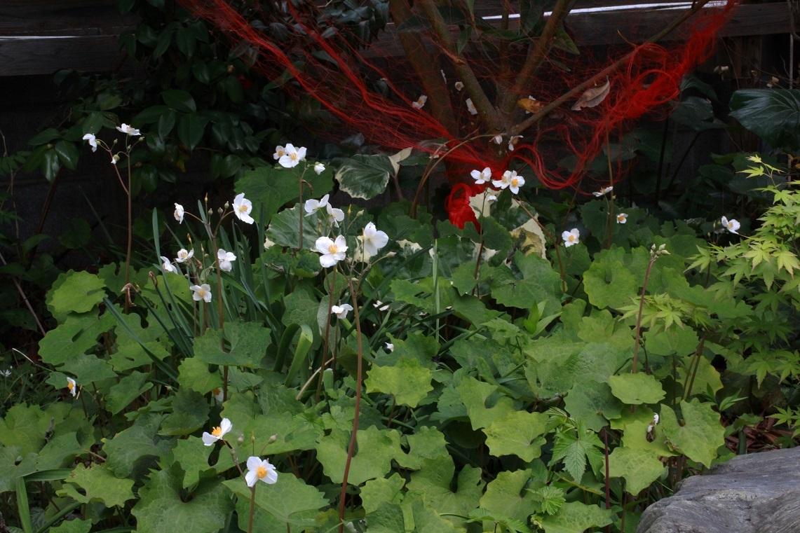 ビワは豊作ですが。。。~五大州、シラユキゲシ~_a0107574_20392774.jpg