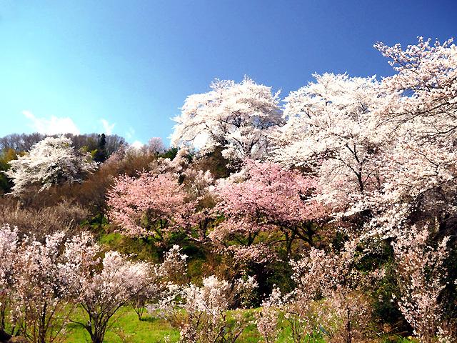 花見山公園_d0358793_01125169.jpg