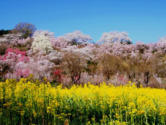 花見山公園_d0358793_03120509.jpg