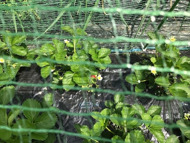 野菜の花_f0204295_19554336.jpg
