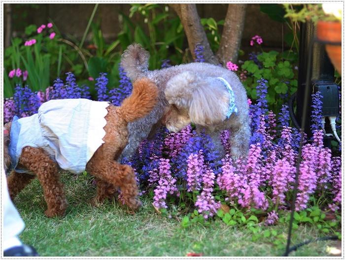 今日はのんびり、ご近所さんのお庭で花を見て、さくらも大も我が家のようにくつろいでね( *´艸`)クスクス_b0175688_20143093.jpg