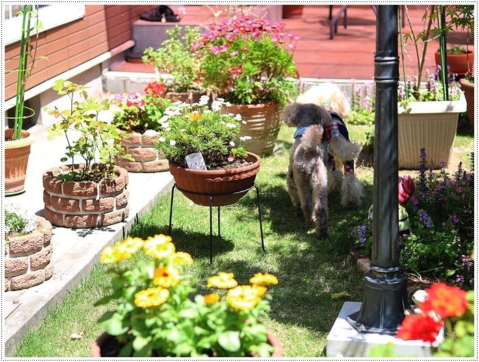 今日はのんびり、ご近所さんのお庭で花を見て、さくらも大も我が家のようにくつろいでね( *´艸`)クスクス_b0175688_20144014.jpg