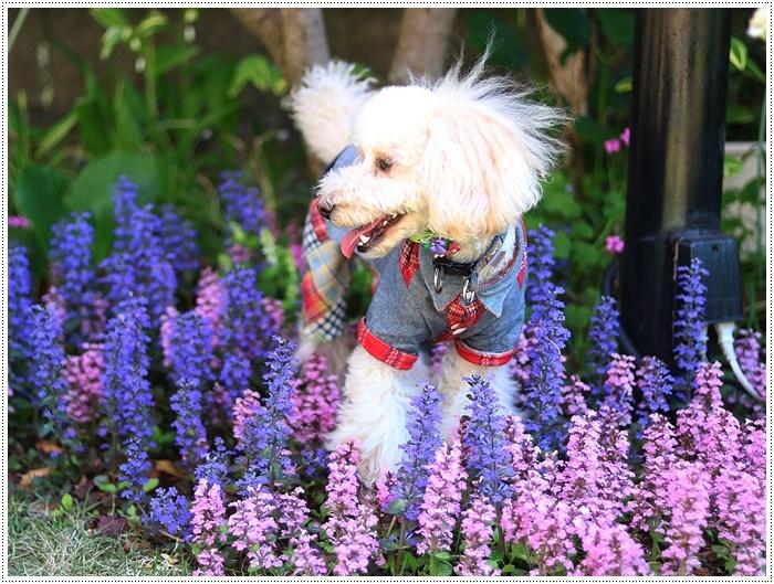 今日はのんびり、ご近所さんのお庭で花を見て、さくらも大も我が家のようにくつろいでね( *´艸`)クスクス_b0175688_20155521.jpg