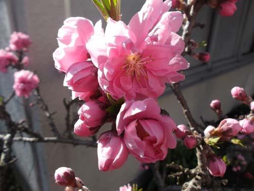 二つの桃の花&皮から手作り餃子_f0019498_16194578.jpg