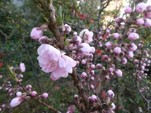 二つの桃の花&皮から手作り餃子_f0019498_16265058.jpg
