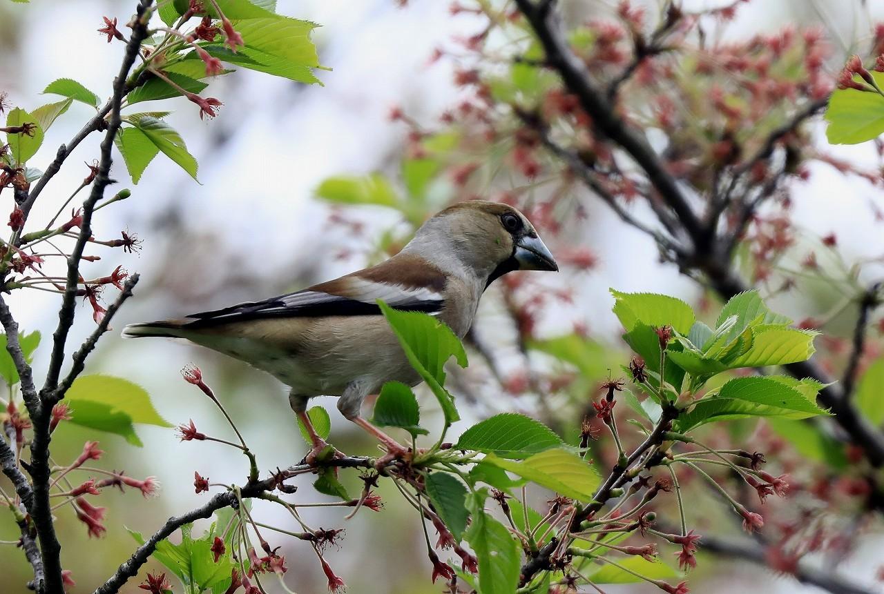 葉桜にシメ_f0296999_16391169.jpg