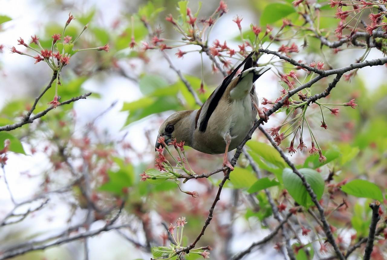 葉桜にシメ_f0296999_16392729.jpg