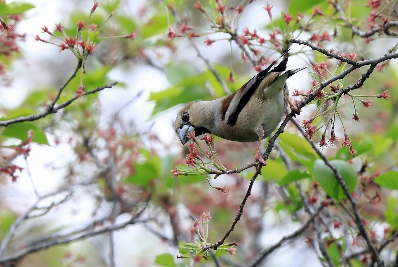 葉桜にシメ_f0296999_16393492.jpg