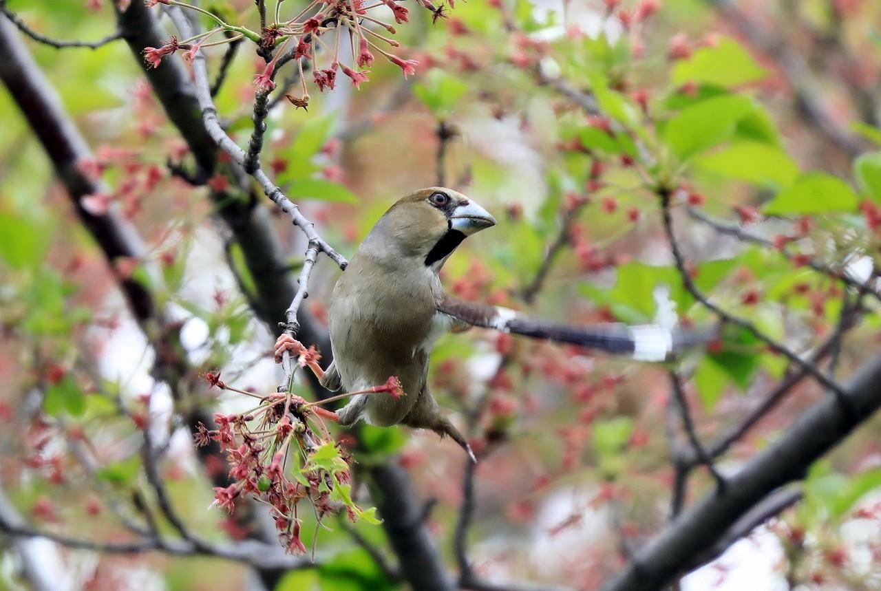 葉桜にシメ_f0296999_16394166.jpg