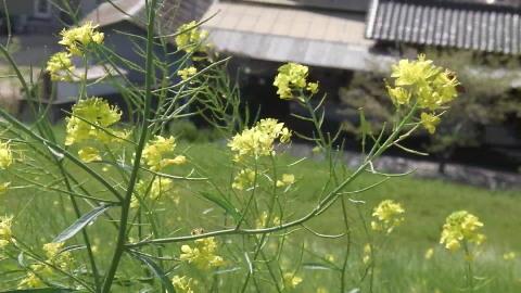 4/22(土) 三島江 菜の花 & レンゲ畑 散策〜_a0059812_22192011.jpg