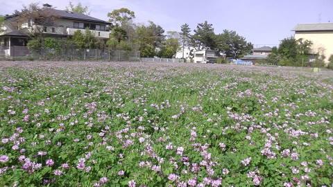 4/22(土) 三島江 菜の花 & レンゲ畑 散策〜_a0059812_22230335.jpg