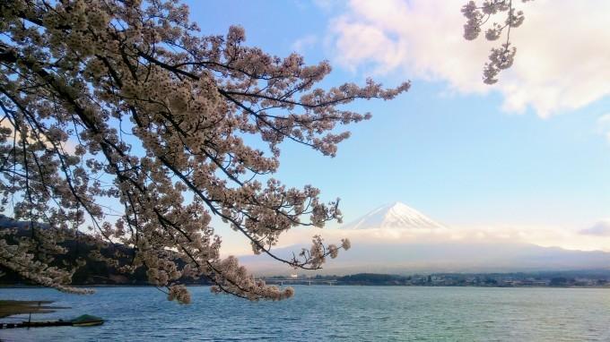 河口湖畔の桜、満開です_f0151419_17203882.jpg