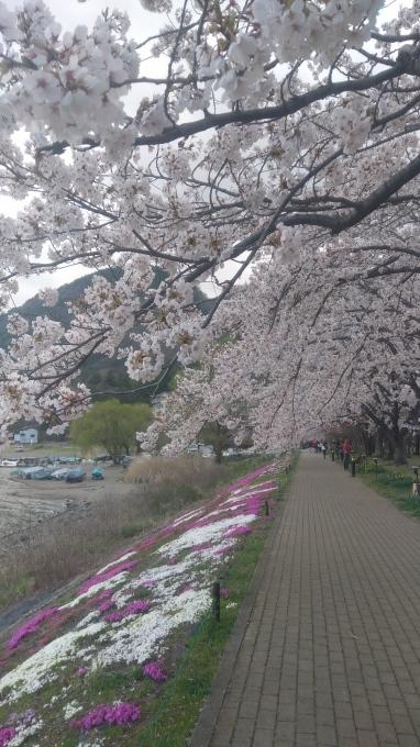 河口湖畔の桜、満開です_f0151419_17230958.jpg