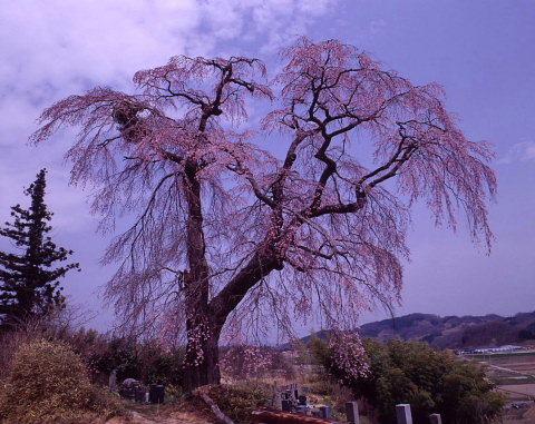 桜を巡りて・・北へ_a0072620_13552750.jpg