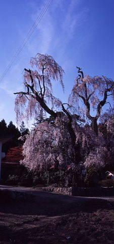 桜を巡りて・・北へ_a0072620_13564549.jpg