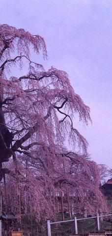 桜を巡りて・・北へ_a0072620_13570558.jpg
