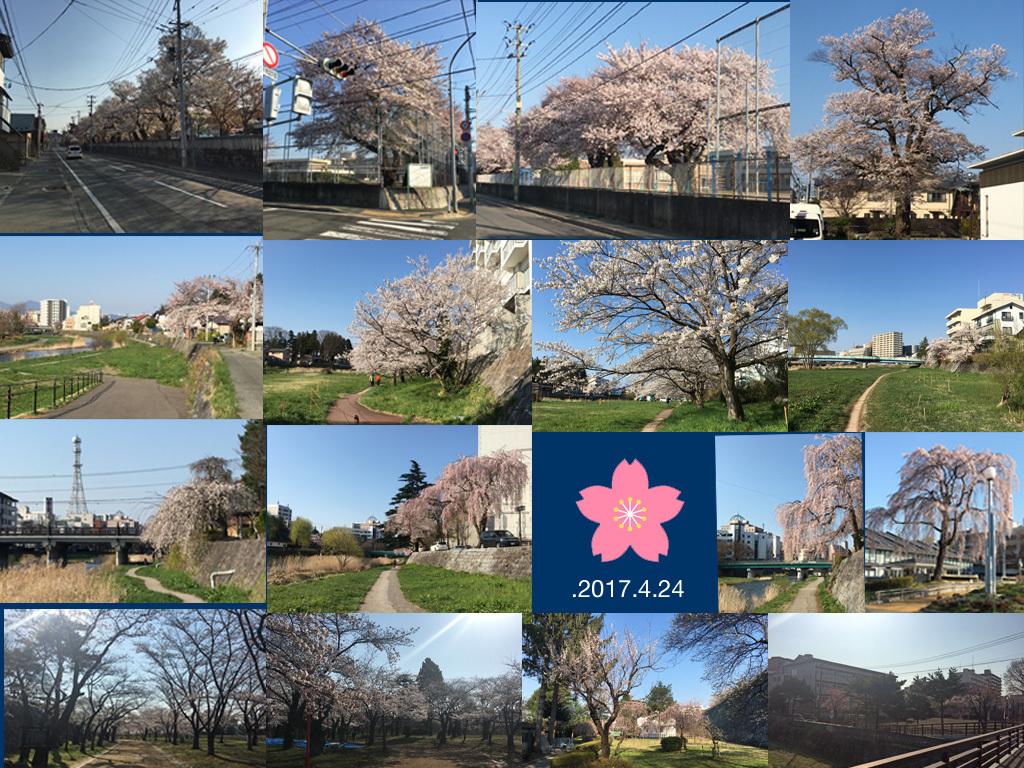 満開の桜の中の通勤walking_f0154626_17284744.jpg