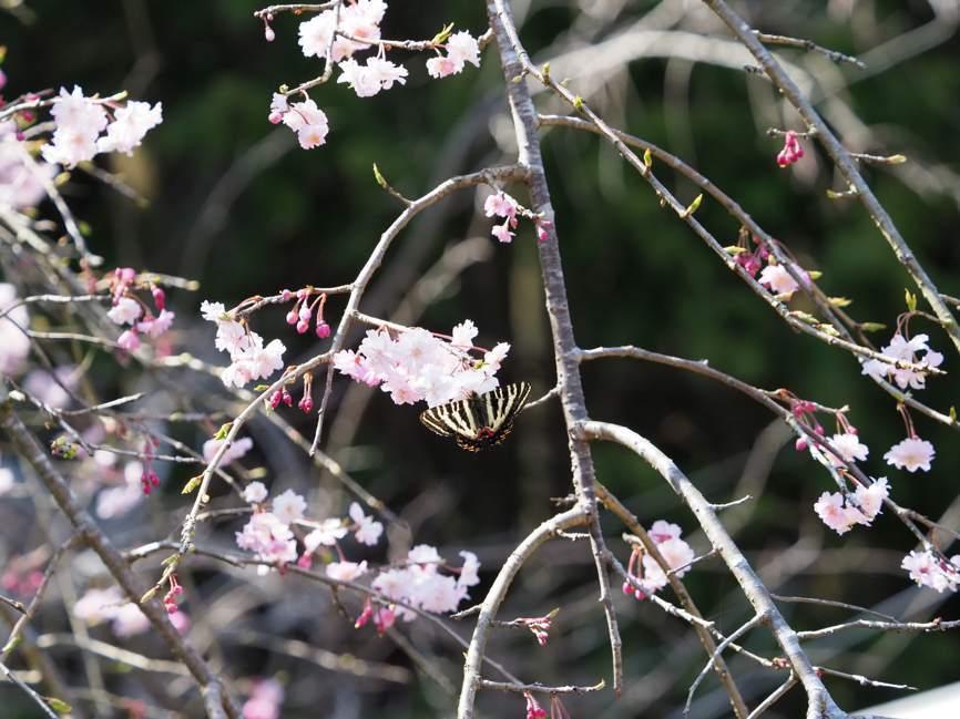 ギフチョウの花どまり(2017年4月22日)_d0303129_03271755.jpg