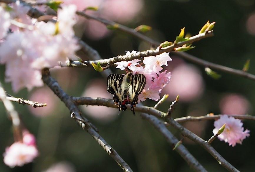 ギフチョウの花どまり(2017年4月22日)_d0303129_03272235.jpg