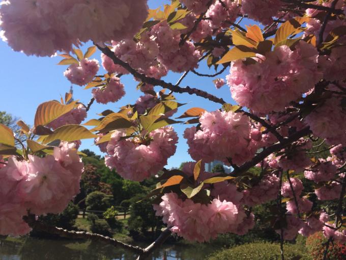 美しい桜の木の下には…_d0347031_11404762.jpg