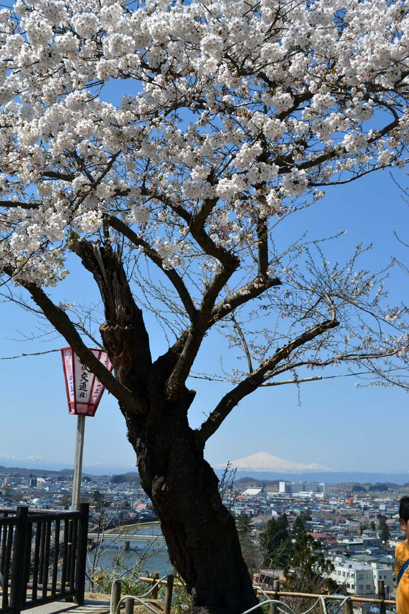ふじ組さんは、横手公園へお花見です。_d0353789_11201536.jpg