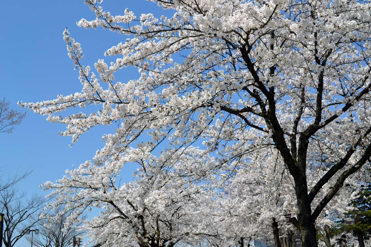 はす組さんと、もも組さんは光明寺児童公園でお花見です。_d0353789_1242092.jpg