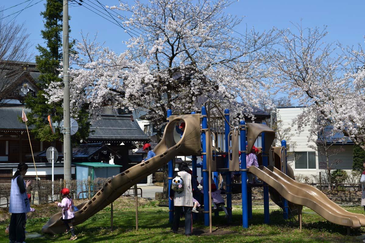 はす組さんと、もも組さんは光明寺児童公園でお花見です。_d0353789_12422283.jpg