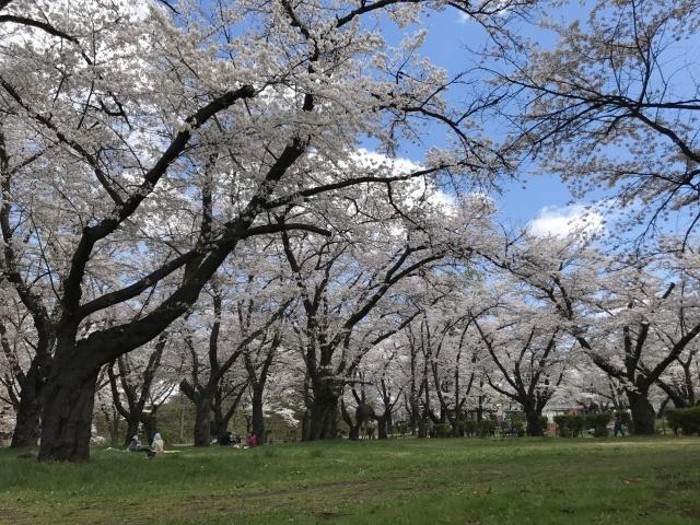 会津は桜🌸満開です!_c0145608_07371295.jpg