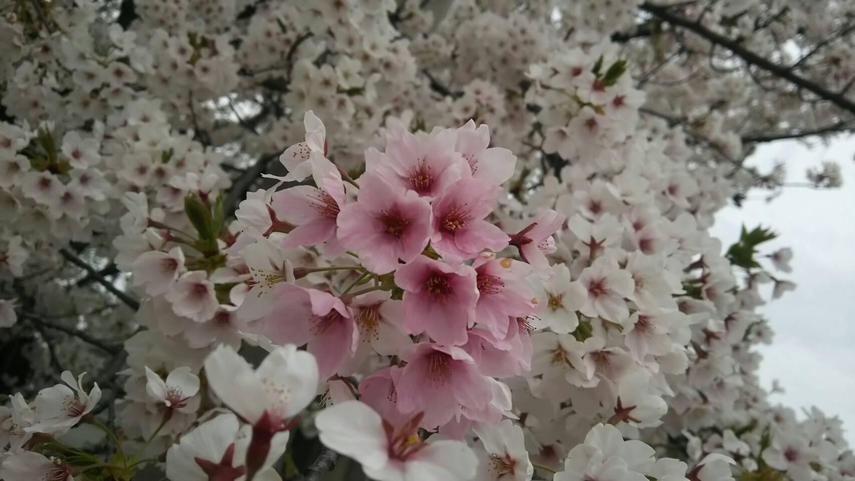 会津は桜🌸満開です!_c0145608_07384224.jpg